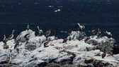 pelicans : Chilean Pelican(s), Sitting On A Rock At Valparaiso Harbor Stock Footage