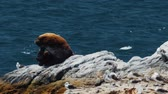 pelicans : Chilean Sea Lion Laying On A Rock At Valparaiso Harbor, Heat Haze