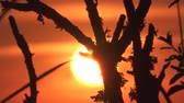 güneş : Time Lapse, Close Up, Sunset Through Branches Stok Video