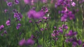 goździk : pink flowers of wild carnation in the field on a sunny afternoon, close-up Wideo