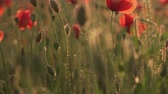 steppe : blooming red poppies in field at sunset, close up Stock Footage