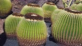 deserto : Many large round cacti on Lanzarote
