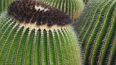 deserto : Many large round cacti on Lanzarote, close up