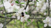 медленно : Detailed close-up of bumblebee eating pollen from flower in blossoming apple orchard,, slow motion Стоковые видеозаписи