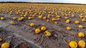 ringraziamento : Aerial view ripened pumpkins lie on ground in field, drone shot