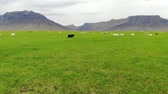 Icelandic sheep graze in green meadow on background of mountains, drone shot Stock Footage