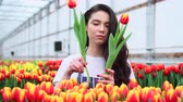 Young woman works with tulips in a greenhouse. Slider shot. Dostupné videozáznamy