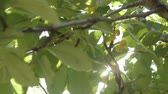 branch : Sweet cherry on the tree. Half of the spoiled berries are among the good ones. Stock Footage