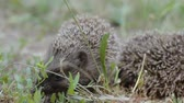 utangaç : A tiny hedgehog on a sunny meadow is looking for something while the other is asleep. Two prickly mammals in nature