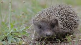 espinhoso : A tiny hedgehog on the clearing looks closely. Cute prickly pet breathes quickly