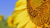 pólen : Beautiful sunflower. Agricultural crops. Cultivation of varieties for vegetable oils Vídeos