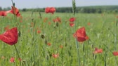 prohibited : Beautiful red flowers with the content of narcotic substances. Poppy field far out of town Stock Footage