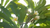 perfumy : Green leaves and white and yellow flowers. Sun rays through the leaves of frangipani plumeria flower