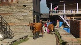 пастушка : MANALI, INDIA - 28 SEPT 2016: Indian woman leads the cows in Indian village, Himachal Pradesh, Kullu Valley