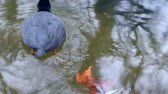 wild : The Coot, bird in water