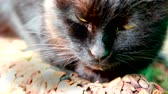 pech : schwarze Katze close-up Stock Footage