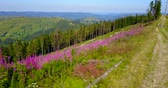 Aerial view of the Carpathian Mountain road on top, flowers. Drone flight