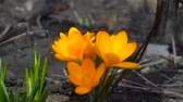 footage : Yellow spring crocus plant. Beautiful Sternbergia lutea daffodil shallow