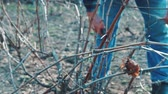 buda : Farmer Pruning grapes in early spring season