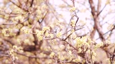 officinalis : Cornus officinalis blossoms Stock Footage