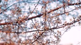 szilva : Blooming flowers in the garden. Blooming plum tree