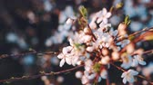 jardim formal : Blooming flowers in the garden. Blooming plum tree