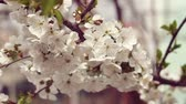 romans : Cherry flower spring blossom. Spring flower tree background, spring background. Wideo