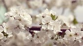 cherry blossom branch : Cherry flower spring blossom. Spring flower tree background, spring background. Stock Footage