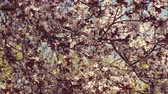 pereira : Blooming flowers in the garden. Blooming plum tree