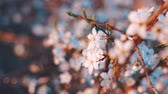 primórdios : Blooming flowers in the garden. Blooming plum tree