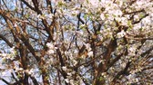 ameixa : Blooming flowers in the garden. Blooming plum tree