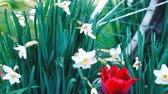 white narcissus : White daffodils. Spring booming flowers with morning light in the garden.