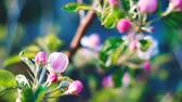floreios : Close up of apple blossoms in a blooming apple tree.