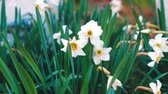 odolný : White daffodils. Spring booming flowers with morning light in the garden.