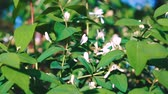 perfumy : Jasmine flowers - beautiful jasmin flowers in bloom.