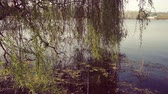 cins : Willow tree branches in lake water