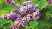 jardinagem : Lilac purple flowers tree, natural seasonal spring floral macro Vídeos