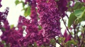 lilac : Lilac purple flowers tree, natural seasonal spring floral macro Stock Footage
