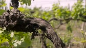 vinho tinto : The blossoming grapevine. Bunch of grapevine in a vineyard.