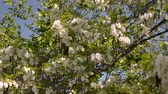 аромат : The crown of blossomed white acacia waves on the wind against the blue sky