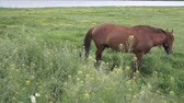 aygır : Horse grazing by the River. Rural landscape. Stok Video