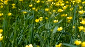 herbaceous : Spring background with Anemone ranunculoides, yellow wood anemone, flowers in nature.