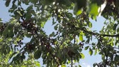 fruit vegetable : Cherry tree branches with rape. Close up view of the cherries on the tree.