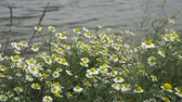 gerbera : Field of blooming chamomiles in the wind.Blooming chamomiles on ther river shore.