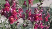 perennial : Snap dragon (Antirrhinum majus) in the wind