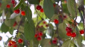 cherrytree : Red sour cherry tree branch with a tasty fruit on wind. Close-up cherry tree branches and fruit