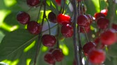 cherrytree : Red sour cherry tree branch with pair of tasty fruit on wind. Close-up cherry tree branches and fruit