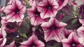 inflorescência : Close up of some beautiful pink hanging petunia flowers