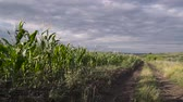 wind gust : Vibrant corn field blowing in the wind on a sunny day. Stock Footage