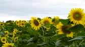 canteiro de flores : Field of Sunflower, Sunflower closeup Stock Footage